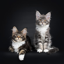 Two Maine Coon Kittens Sitting...