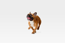 Young French Bulldog Is Posing. Cute White-braun Doggy Or Pet Is Playing, Running And Looking Happy Isolated On White Background. Studio Photoshot. Concept Of Motion, Movement, Action. Negative Space.