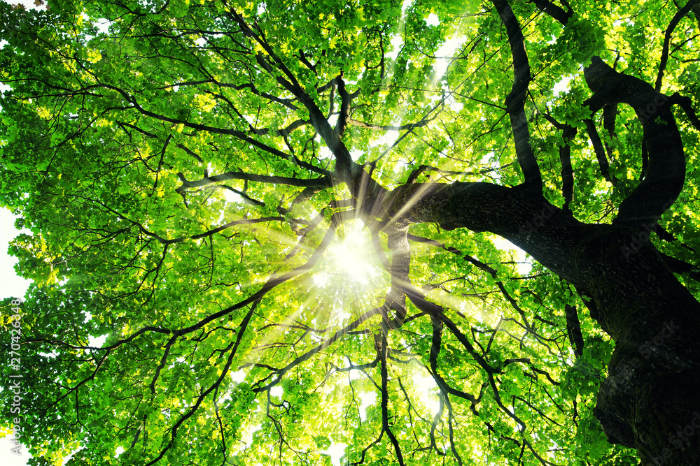 Fototapety, obrazy: Maple tree with sunbeams