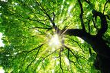 Maple tree with sunbeams