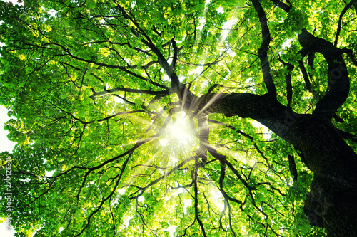Maple tree with sunbeams