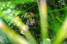 Male Frog Croaking In The Pond