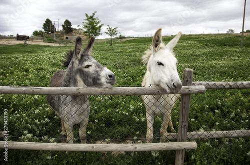 Photo Donkeys on farm
