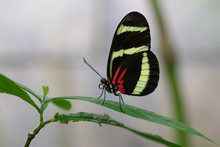 Hewitsons Longwing, Heliconius...