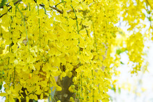 Beautiful Yellow Flower Cassia Fistula Branch Blooming In A Park In Summer