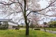 Spring season with sakura cherry blossom during raining in Sumpu castle at Shizuoka prefecture, Japan