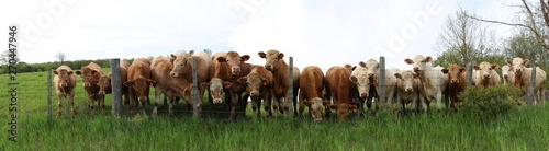 Fotografía Long panoramic row of Charolais steers lined up looking over the fence