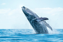Humpback Whale Breaching In Ca...
