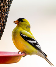 American Goldfinch At The Feeder