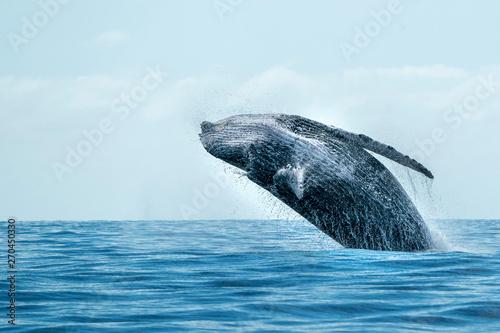 humpback whale breaching in cabo san lucas Fototapet