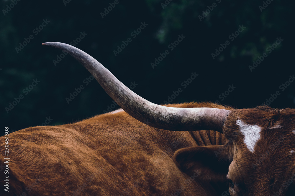 Fototapety, obrazy: Texas longhorn cow on farm, shows detail in horn close up.