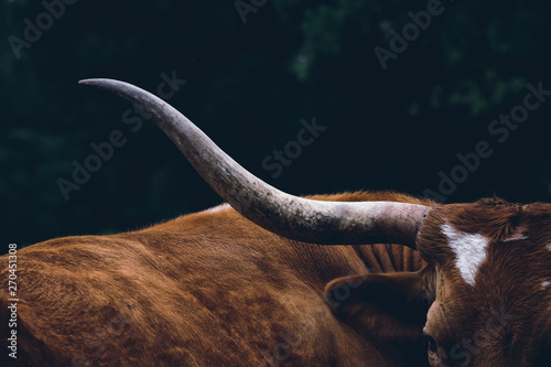Texas longhorn cow on farm, shows detail in horn close up.