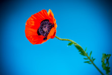 Beautiful Red Blooming Poppy Flower Isolated On Blue