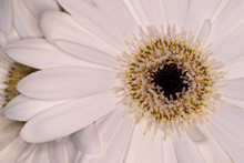 Gerbera Ceramic Flower Head, Genus Of Plants In The Asteraceae Of The Daisy Family Native To Tropical Regions Of South America, Africa And Asia, Macro With Shallow Depth Of Field