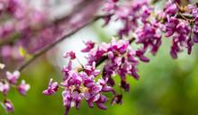 Close-up Of Purple Spring Blos...