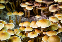 Golden Teacher Psilocybe Cuben...