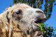 Camel face - portrait, close-up photograph