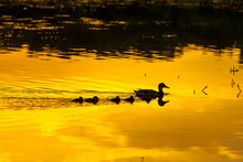 Silhouette Of A Duck Family Wedge Walking Along The Watery Surface Of Bright Yellow Orange Color From The Evening Sun At Sunset In A Pond Lake Or River. Kashkadan Lake, Ufa, Bashkortostan, Russia.