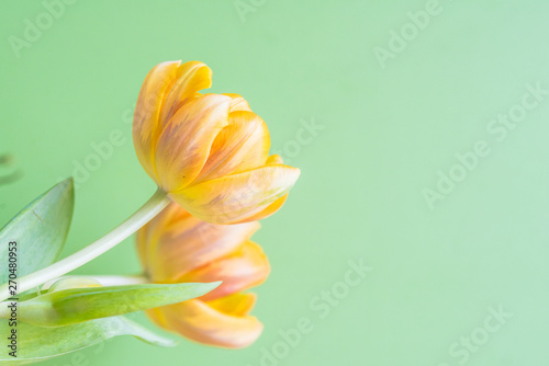 Fototapety, obrazy: Fresh tulips on pastel colors background..Tulips leaves isolated on a on wooden table and bright background..Spring yellow tulips seasonal time and strong colorful celebration trend flower.