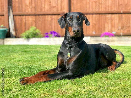 Doberman Black and Tan Fototapete