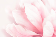 Closeup View Of Pink Peony Flower. Soft Pastel Wedding Background.