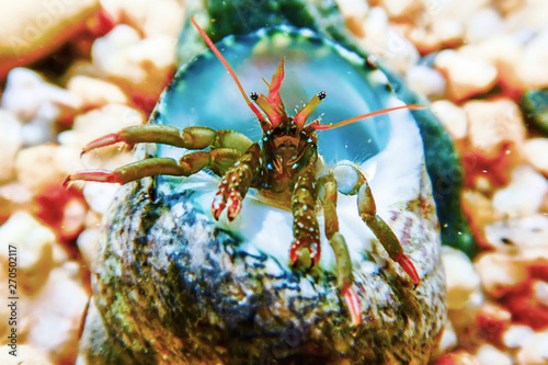 Small funny hermit crab underwater close up. Wallpaper Mural