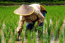 Rice Worker ,planting Rice In Rice Field