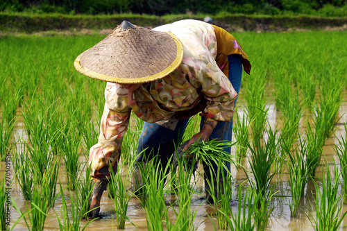 Garden Poster Rice fields Rice worker ,planting rice in rice field