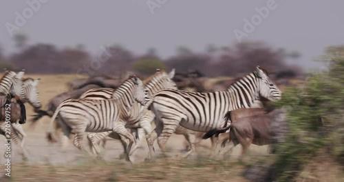 Herd of zebra and wildebeest running, Botswana - 270509752