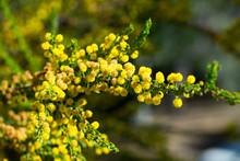 Kangaroo Acacia Flowers