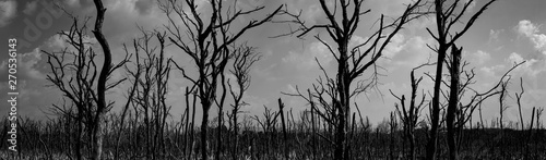 Silhouette dead tree  on dark dramatic sky background for scary or death Wallpaper Mural