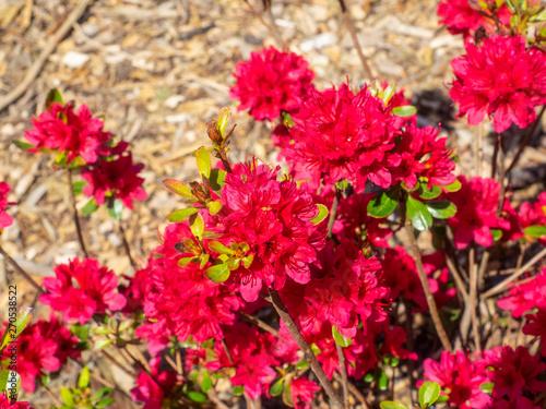 Fotografia, Obraz  Rhododendron 'Hino Crimson'