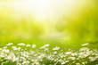 Summer outdoors background glade with daisies and grass. Beautiful morning light and mood. Space for text.
