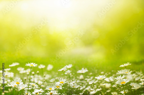 Fototapeta Summer outdoors background glade with daisies and grass. Beautiful morning light and mood. Space for text. obraz na płótnie