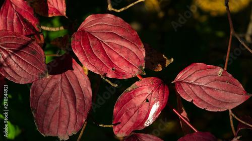 Photo Leaves of Siberian dogwood or Cornus alba in autumn sunlight with bokeh backgrou