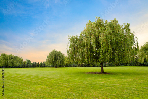 Fényképezés  Weeping willow tree against beautiful colored sky and green grass