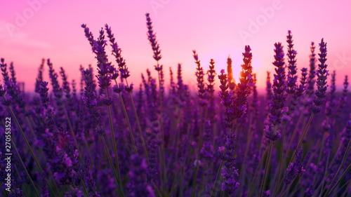 SUN FLARE: Lush violet lavender bush sways in the gentle breeze at sunset.