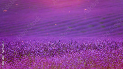 Fototapety, obrazy: CLOSE UP: Insects fly over the sunlit lavender shrubs on a calm summer evening.