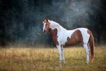 Piebald  Horse Standing In Fog...