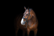 Horse Portrait In Bridle Isolated On Black Background