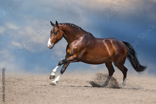 Fototapeta Bay horse run gallop on desert sand against blue sky obraz