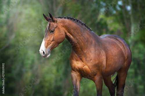 Fototapeta Bay Horse close up portrait in motion against green background obraz