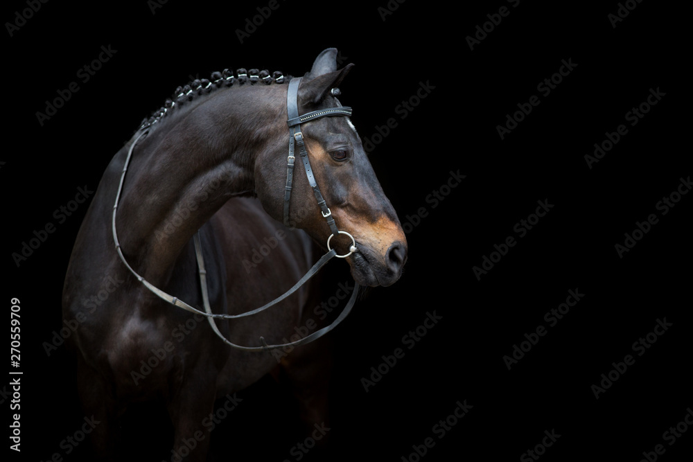 Fototapeta Horse portrait in bridle isolated on black background
