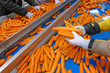 Leinwanddruck Bild - Carrots in food processing plant. Female workers sorting and controlling carrots on production line