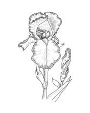 Monochrome Hand Drawing Illustration Of Iris Flower.