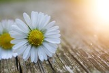 daisy flower plant in summer in the nature, daisies in the garden