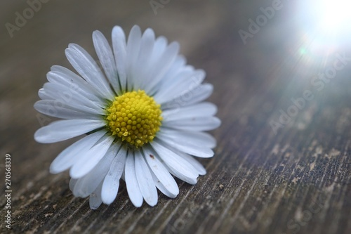 Autocollant pour porte Marguerites daisy flower plant in summer in the nature, daisies in the garden