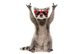 Fototapeta Zwierzęta - Funny raccoon in red sunglasses showing a rock gesture isolated on white background