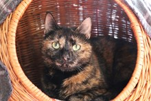 Beautiful Tricolored Cat Is Lying In The Willow Basket