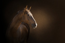 Portrait Of A  Akhal-take Hors...
